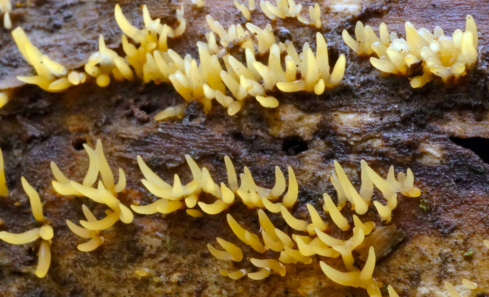 Calocera cornea (Photo courtesy of Tom Bigelow)